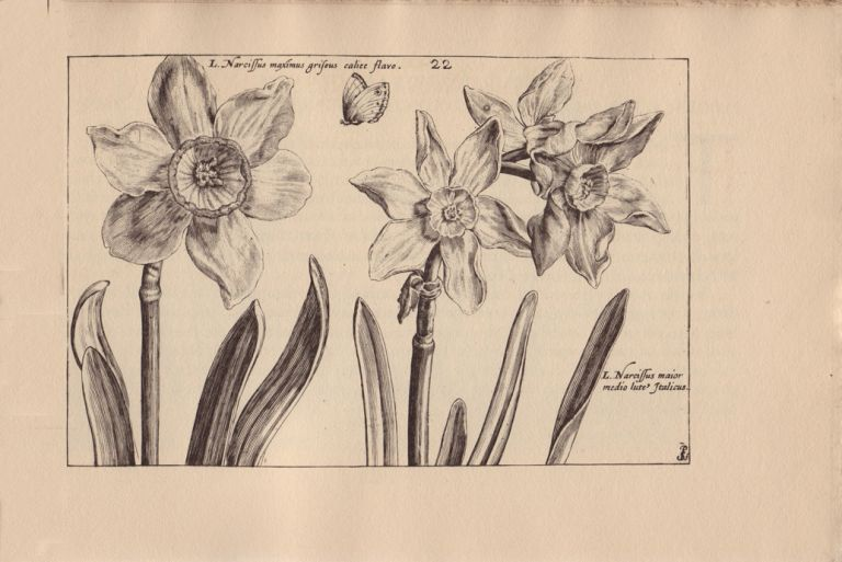 Hortus Floridus; The First Book, Contayninge a very lively and true Description of the Flowers of Springe. Crispin van de PASS.