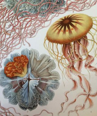 Kunst-Formen der Natur.; Art Forms in Nature. Ernst HAECKEL